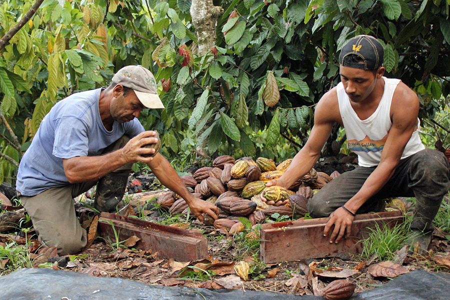 Two men sorting the cocoa pods that go into making chocolate from J.Cocoa